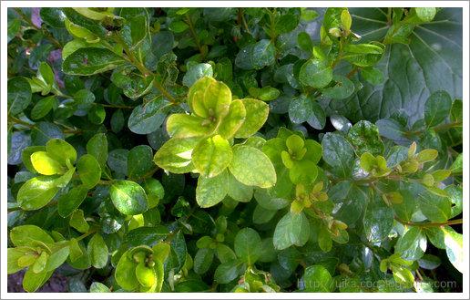 luxuriant foliage